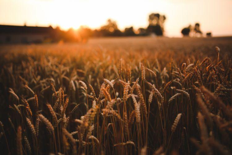 agriculture field grain harvest rye sunrise sunset wheat wallpaper