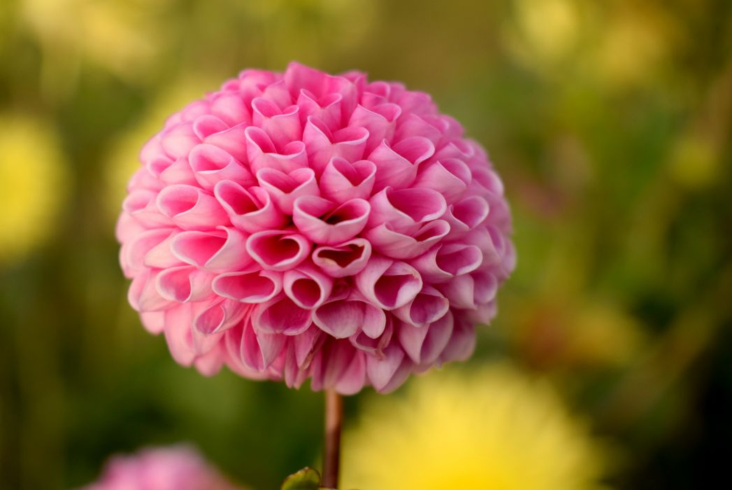 beautiful bloom blooming blossom blur bright close-up color dahlia flora flower garden growth love macro nature outdoors petals pink season summer vibrant wallpaper