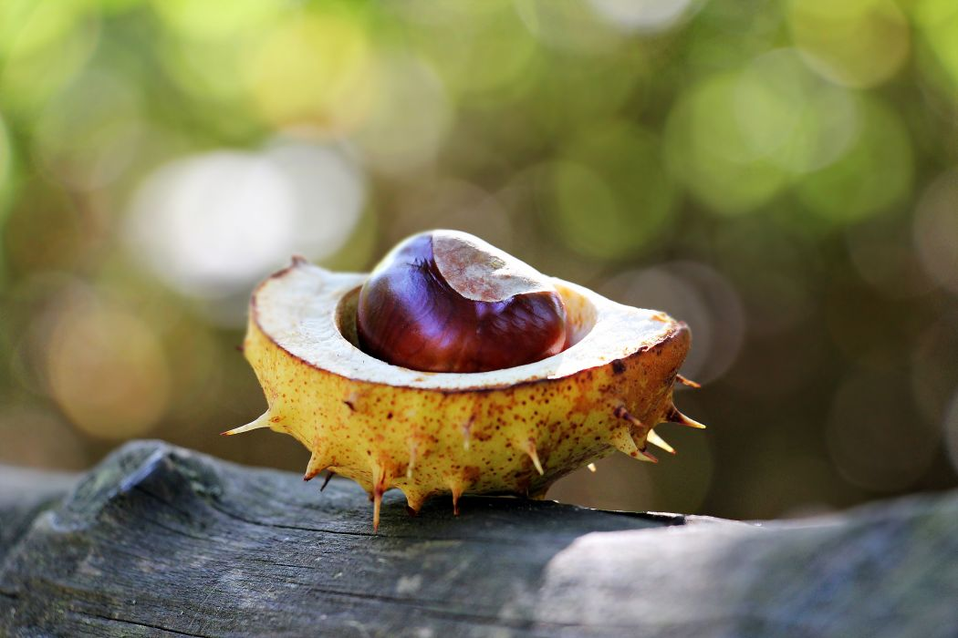 background blur chestnut close-up color confection delicious driftwood eat food fresh fruits health healthy nut nutrition open plant prickly season shell still life sunlight sweet tasty wallpaper