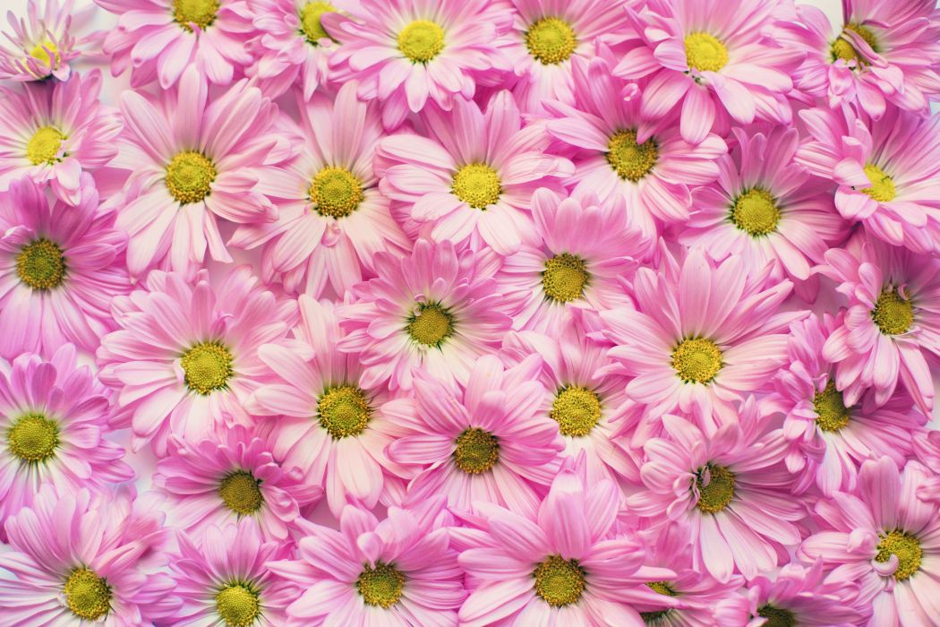 background beautiful blooming blooms blossoms bunch of flowers close-up decoration delicate design flora flowers garden growth petals pink daisies pollen wallpaper
