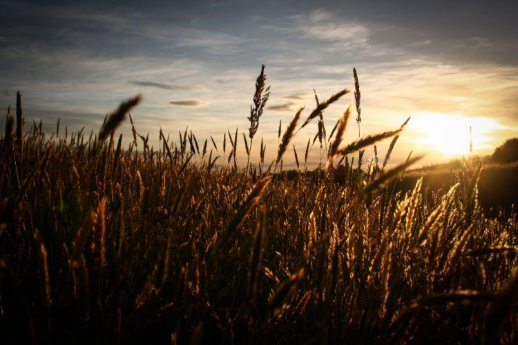 field sky sun sunrise sunset wheat wallpaper