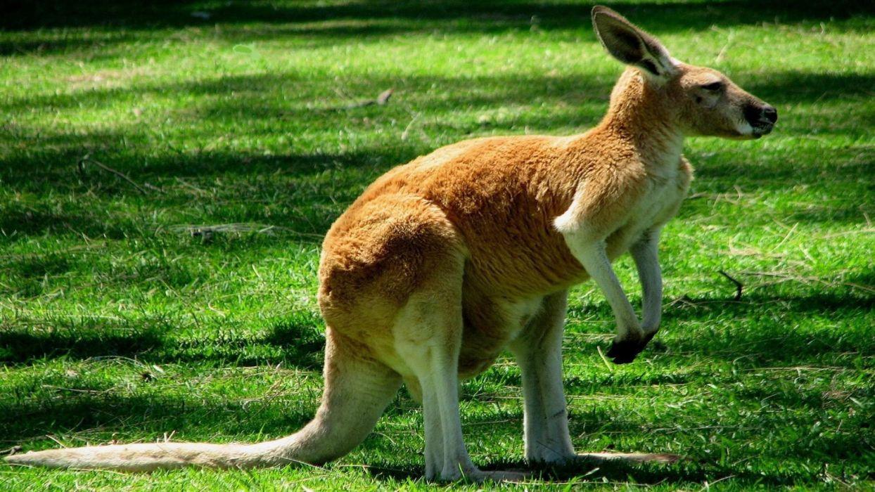 canguro amimales marsupial wallpaper