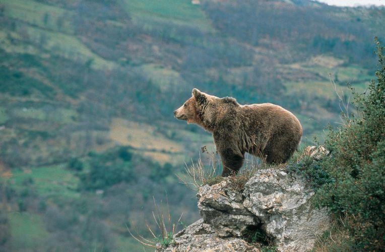 oso pardo animales pantigrados mamifero wallpaper