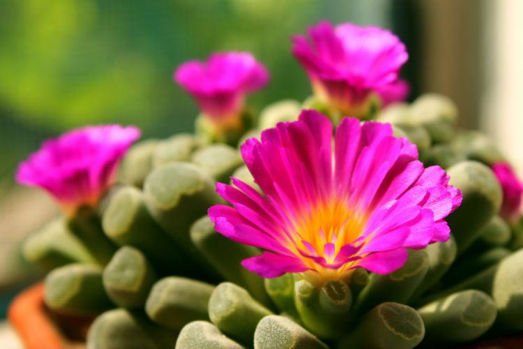 frithia plant succulent flower bloom blossom pink bright wallpaper