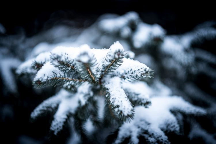 blur branch christmas cold conifer evergreen fir frost frozen ice macro needle pine season snow snowflake spruce tree winter wallpaper