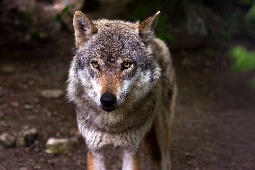 animal forest predator wilderness wolf wallpaper