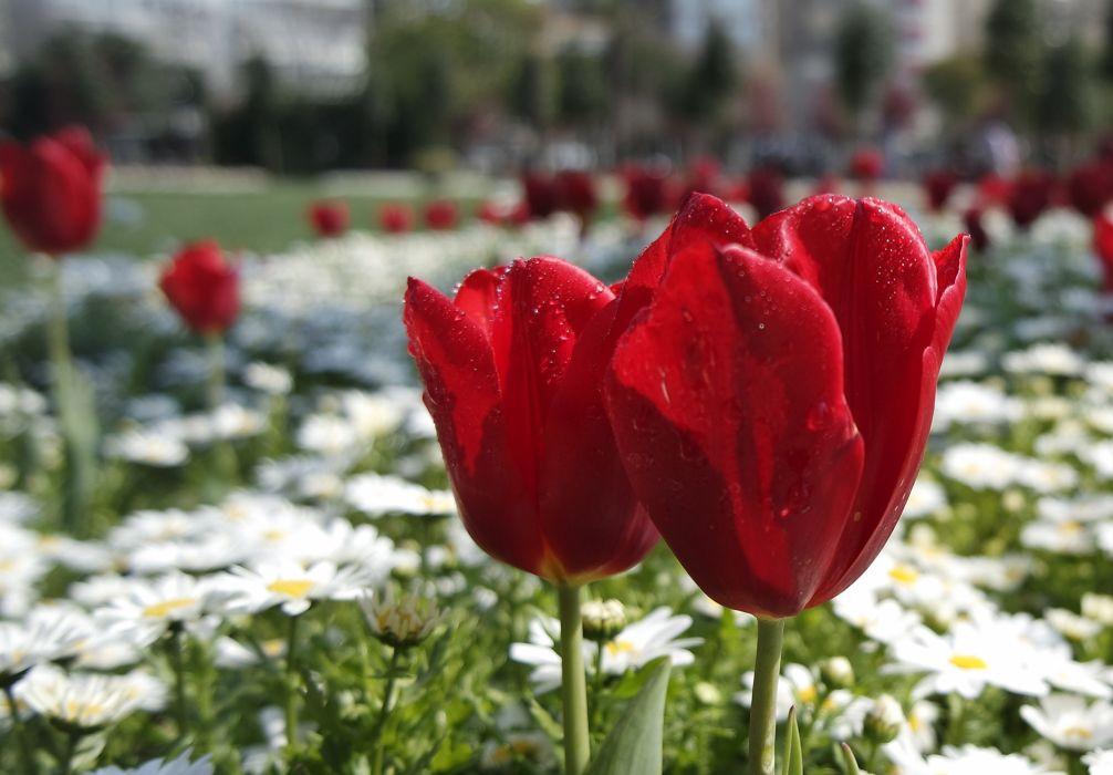 bloom blossom botany color colorful floral florist flower flowers garden gardening grass growth leaf nature petals plants red spring summer tulips istanbul turkey BurakKebapci wallpaper