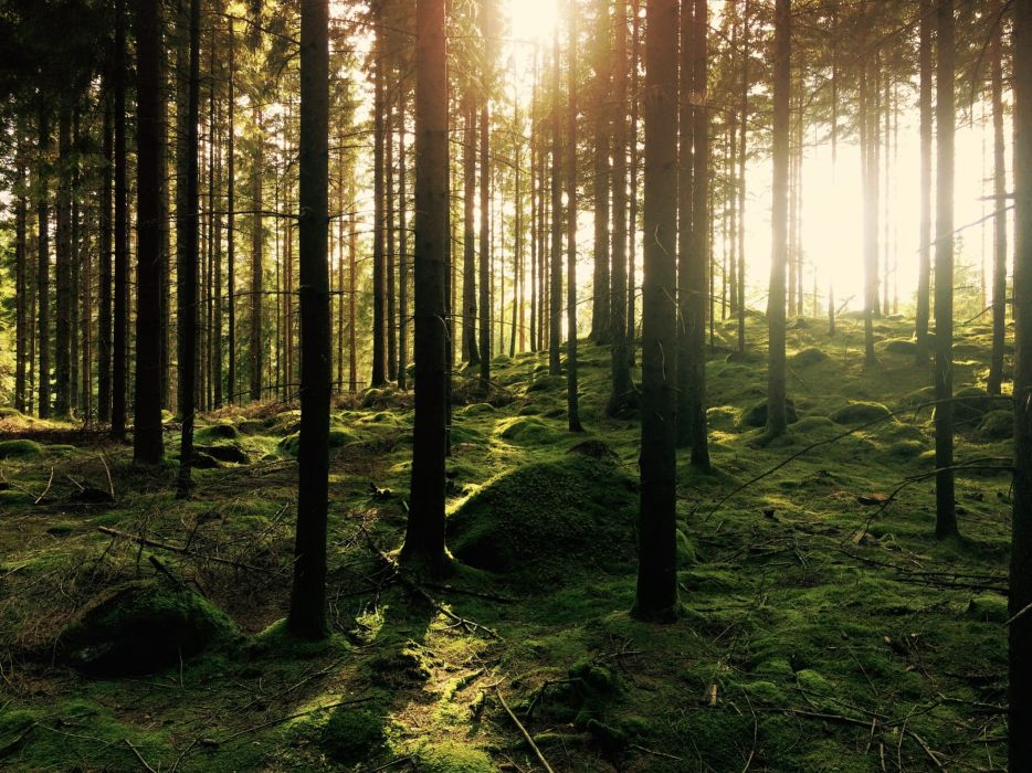branches forest nature sun trees vegetation woods wallpaper