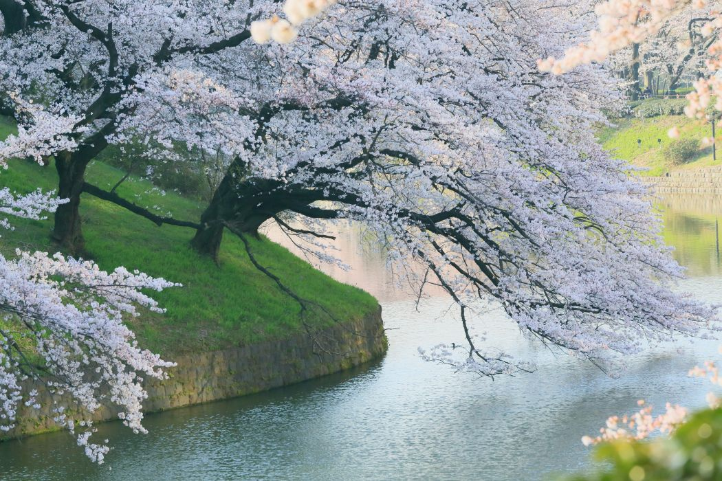 spring tree flower beauty river nature wallpaper