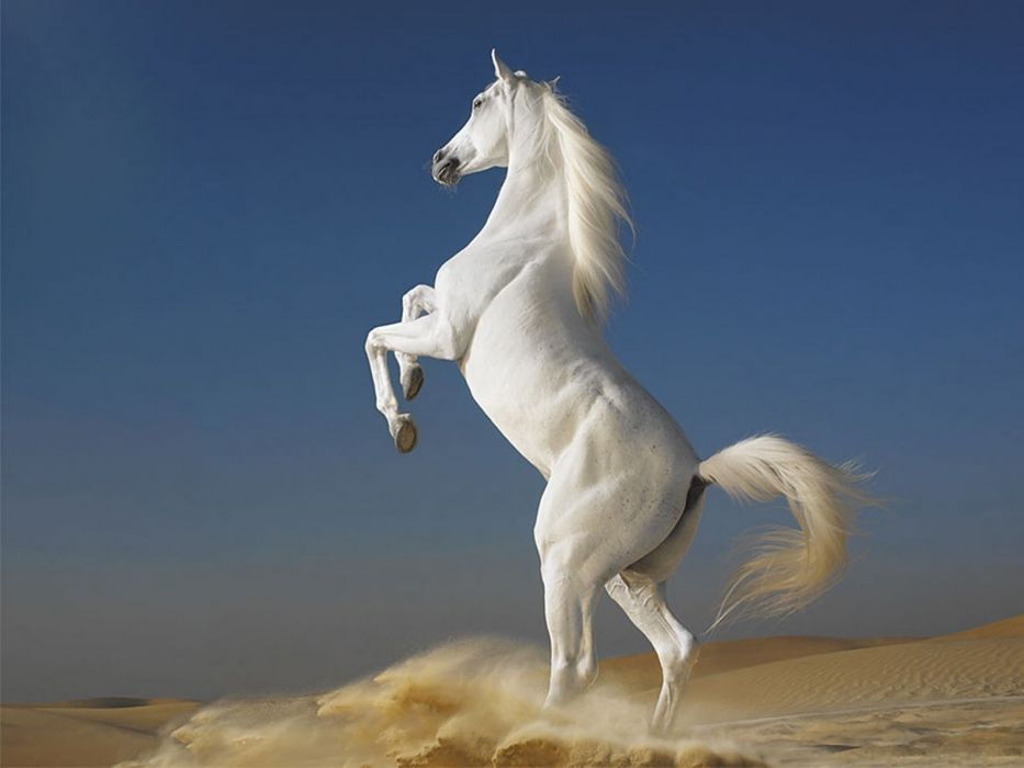 Photography-animals-white-horse-two legs-sand wallpaper
