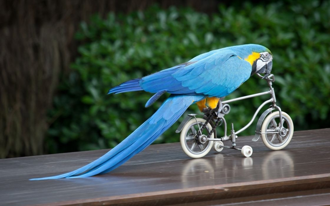 Photography-animals-mood-funny-bicycle-parrot wallpaper
