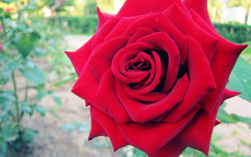 big-red-rose wallpaper