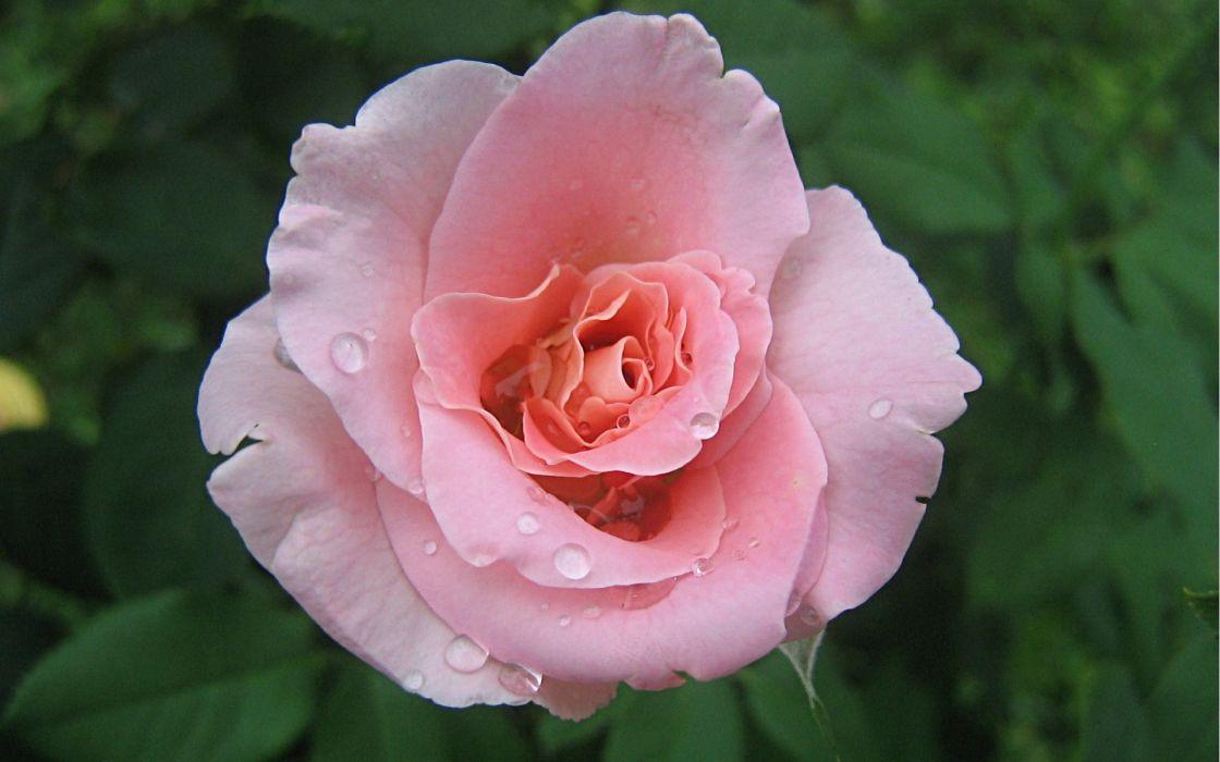 pink rose flower Pink Rose single rose flower nature rose flower wallpaper