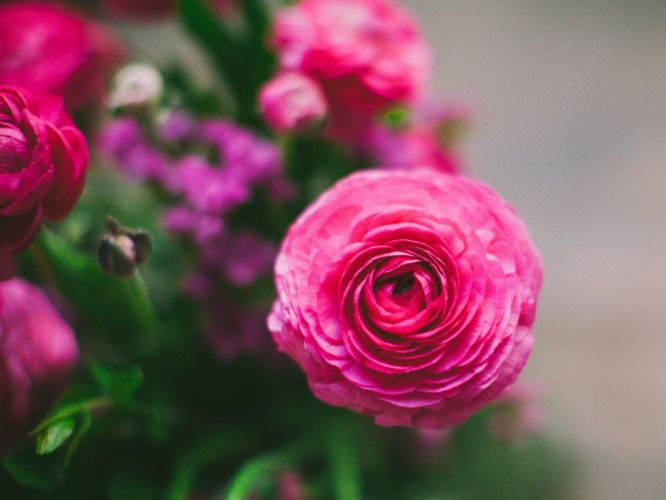 flowers petals ranunkulyus wallpaper