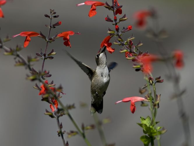 humming at flowers wallpaper