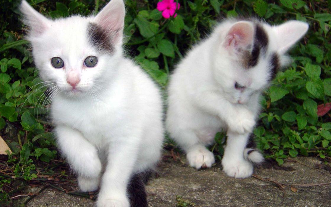 Cute-White-Cat wallpaper