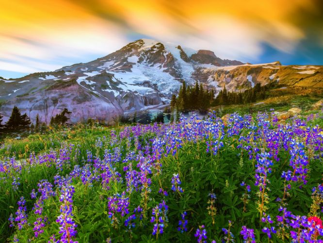 Blue lupines on background of mountains snowmountain summer flower lupin lupine sky wallpaper