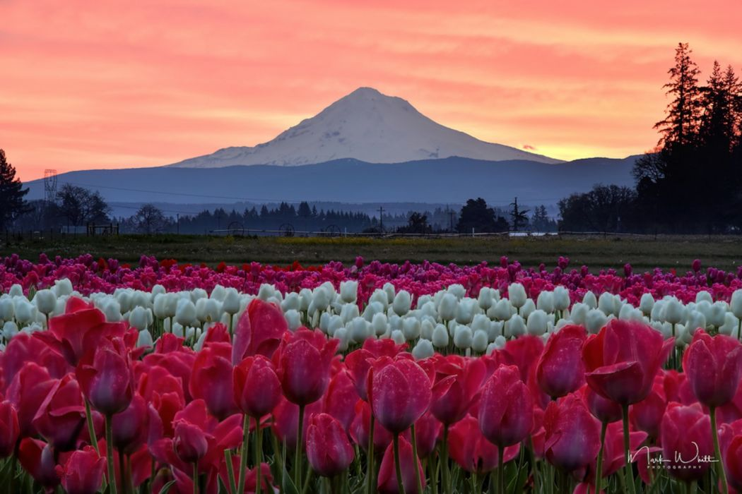Mount Hood Sunrise with Tulips wallpaper