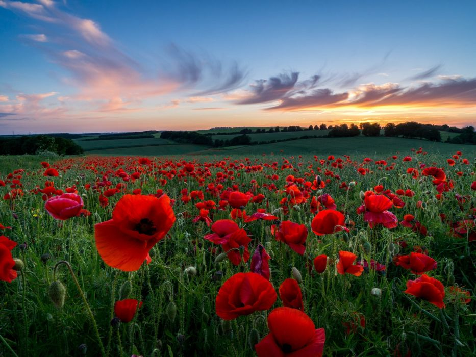 Poppy field at sunset sunset evening field clouds summer flower mac poppy sky wallpaper