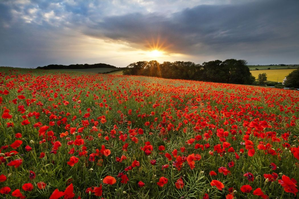 cranborne-poppies-sunset-dorset wallpaper