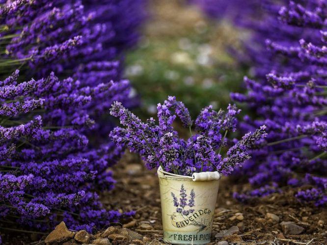 Flowers of lavender in the bucket wallpaper