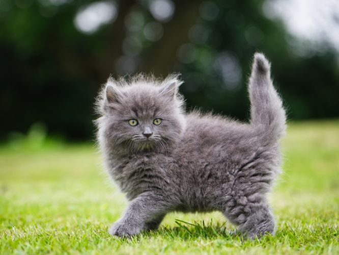 Fluffy gray kitten wallpaper