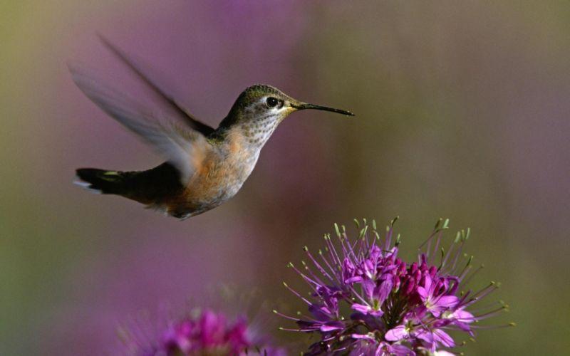macro-of-hummingbird wallpaper