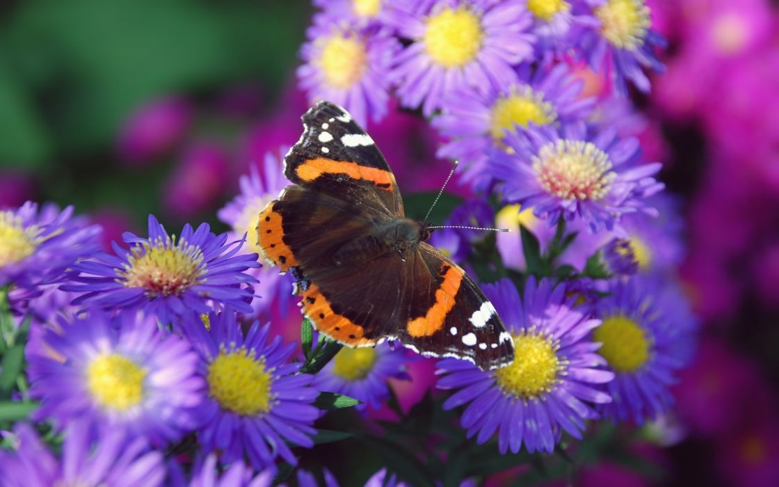 Nature Multicolored Flowers Animals Insects Summer Violet flowers wallpaper