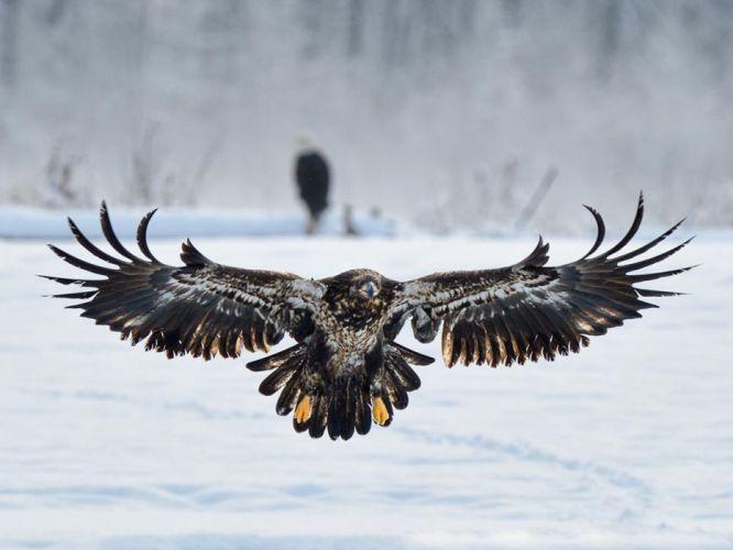 stunning-eagle wallpaper