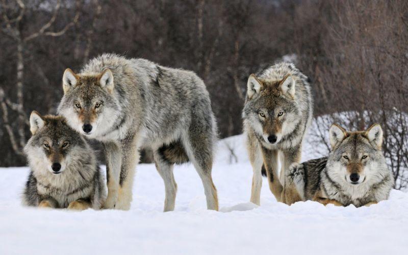 Wolf-Winter-Animal wallpaper
