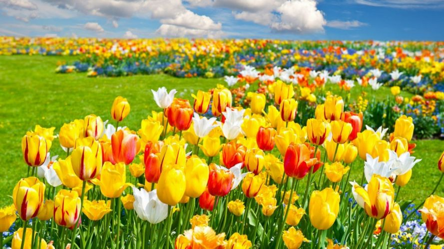 -flower-colors-fields-nature-yellow-white-tulips-color-red- wallpaper