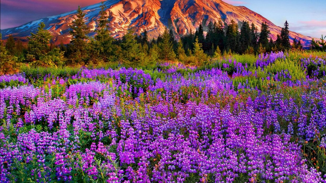 Landscape-purple-mountain-meadow-with-flowers-pine-trees-mountains-with-snow-red-cloud-beautiful wallpaper