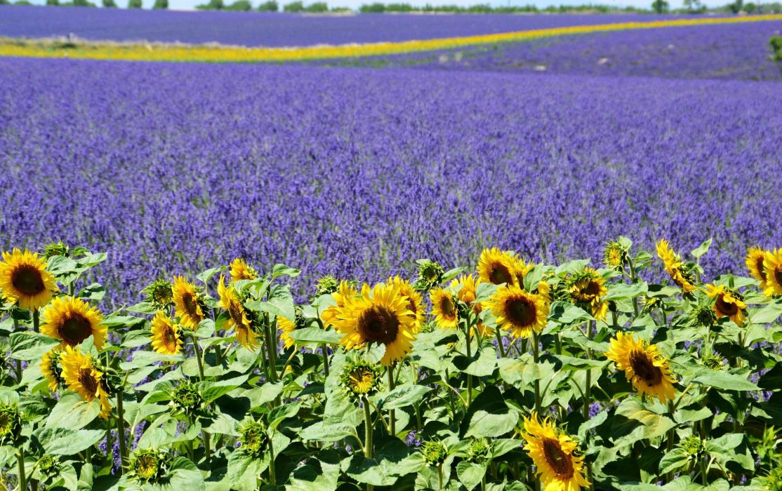 lavender-field lavender field sunflower valensole provence summer purple mediterranean south of france wallpaper