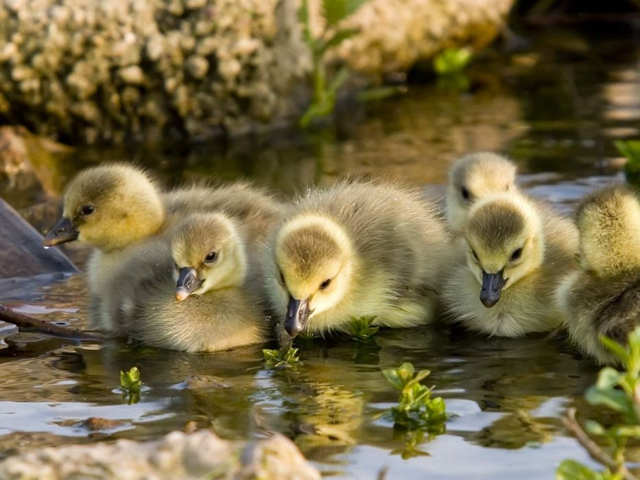 baby animales crias pato wallpaper