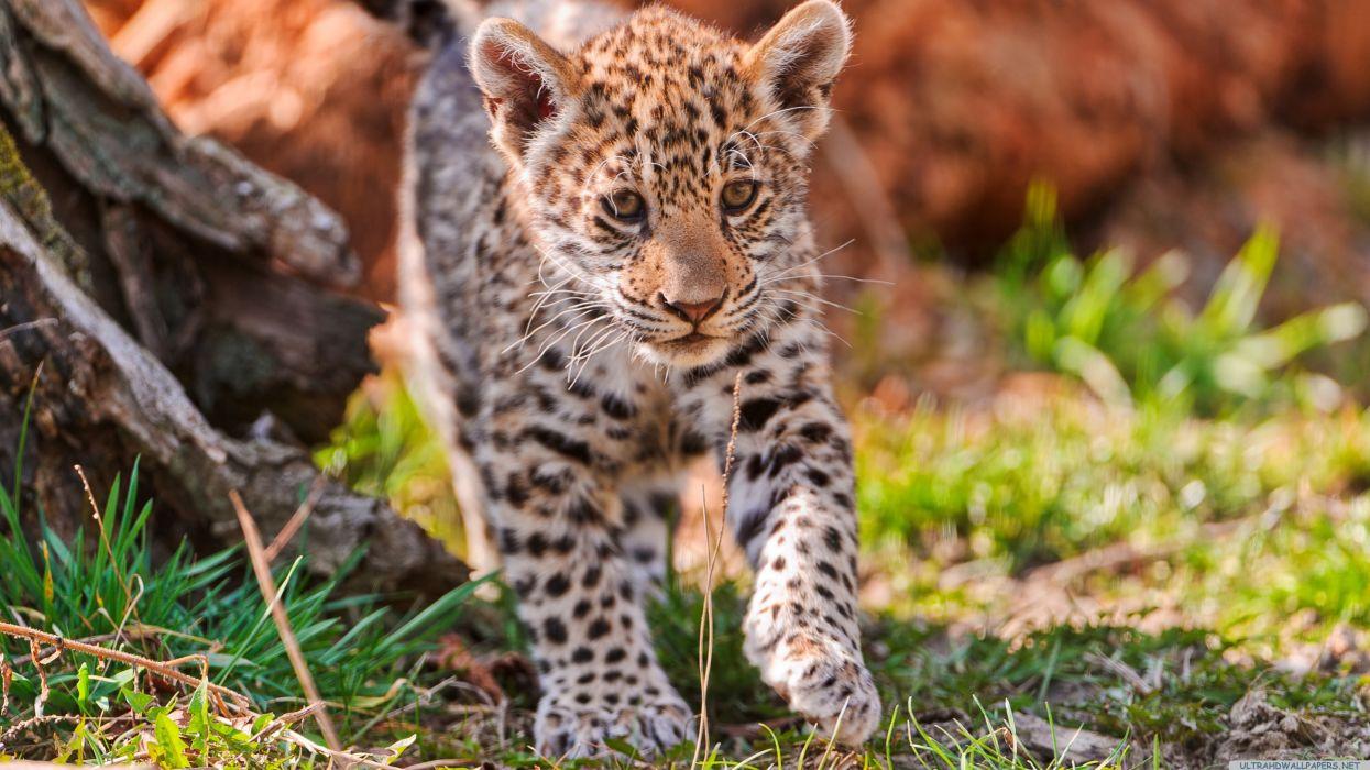 cachorro jaguar animales felino wallpaper