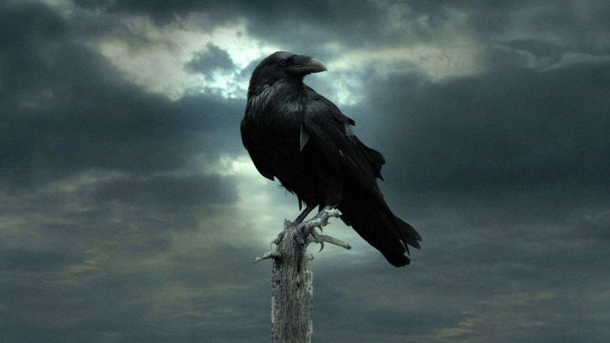 ave cuervo negro animales wallpaper