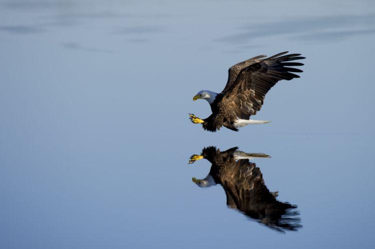 animal avian beak bird eagle flight fly outdoors poultry raptor reflection side view water waterfowl wild wildlife wallpaper