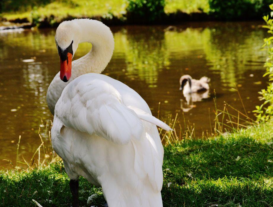 animal avian beak beautiful birds feathers grass lake note plumage pond poultry swans water water bird waterfowl white wild wildlife wallpaper