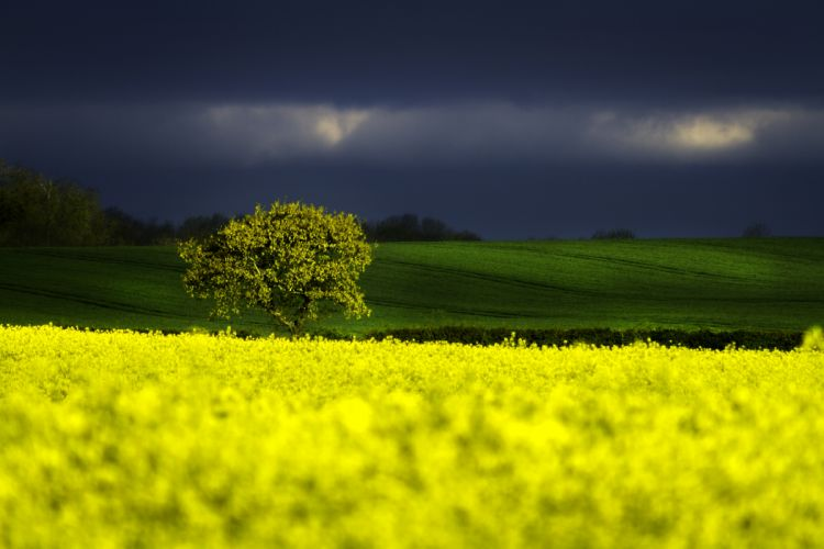 agriculture clouds cloudy country countryside dark dark clouds field flowers grass hill nature nature photography outdoors rapeseed rural sky trees vibrant royalty free images wallpaper