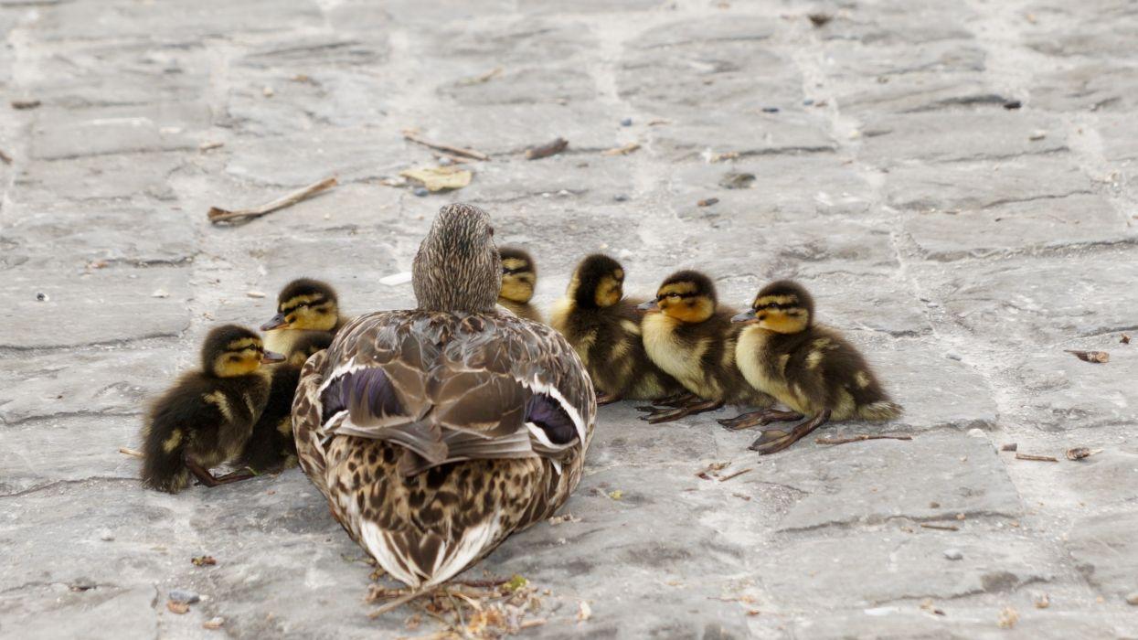 Animal Bird Cute Duck Ducklings Family Ground Mallard Outdoors Pavement Plumage Poultry Water Waterfowl Wallpaper