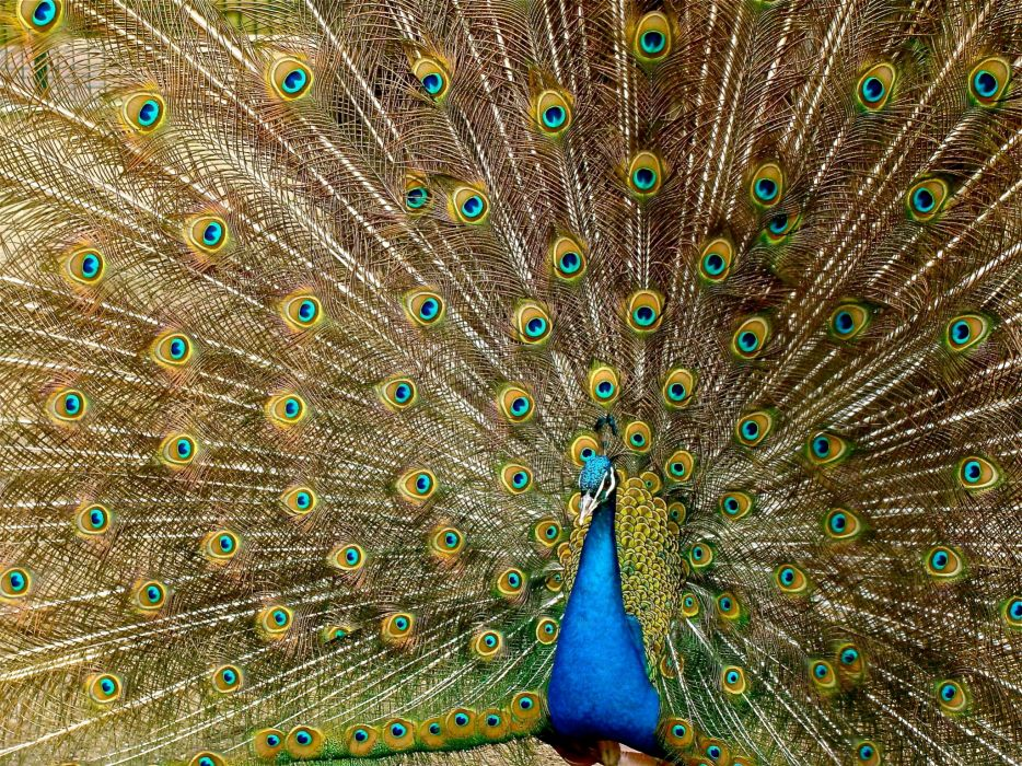 animal bird colorful colourful feathers pattern peacock plumage wildlife royalty wallpaper