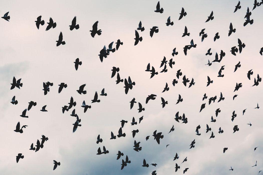 animal avian bird crow flight flock fly outdoors plumage raven silhouette sky waterfowl wildlife wing wallpaper