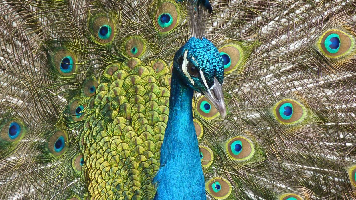 animal beak bird close-up feather peacock peafowl plumage wallpaper