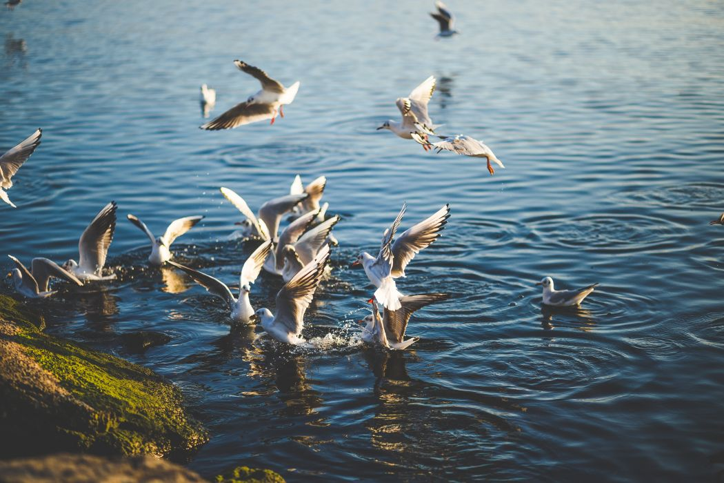 animal birds fly gulls lake nature outdoors pelican sea sea birds seagulls water water birds waterfowl wallpaper
