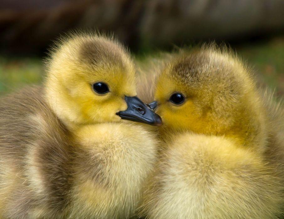 animal baby beak bird cute duck ducklings feather fluffy gosling little newborn poultry water bird wallpaper