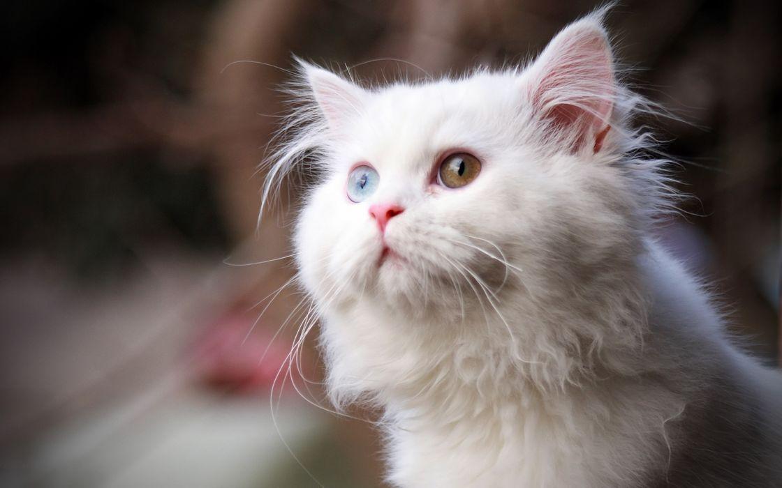 animales gato blanco felino wallpaper