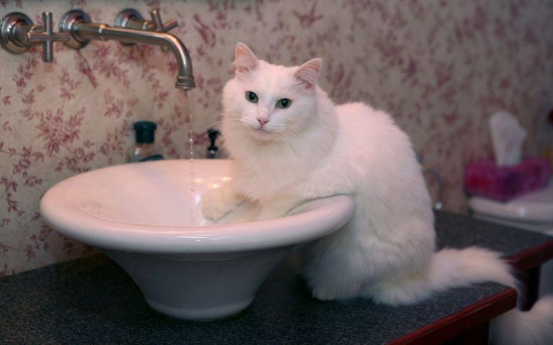gato blanco lavabo wallpaper