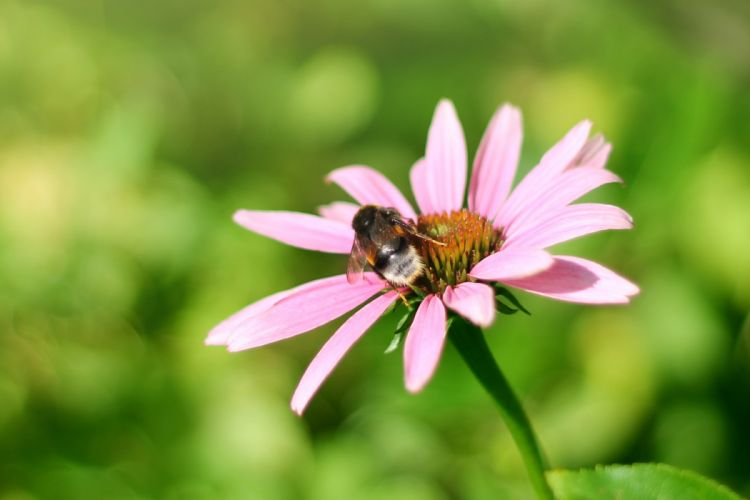 bumblebee flower insect echinacea pink green summer bright wallpaper