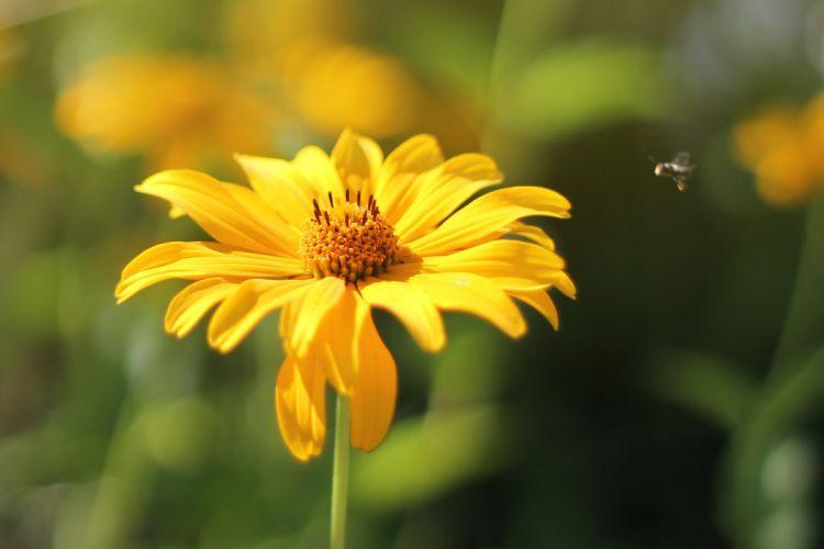 flower bee yellow insect apis summer sunlight wallpaper