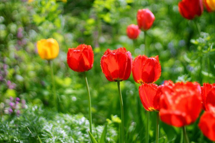 tulips garden flowers spring red green plants bloom blossom beautiful wallpaper